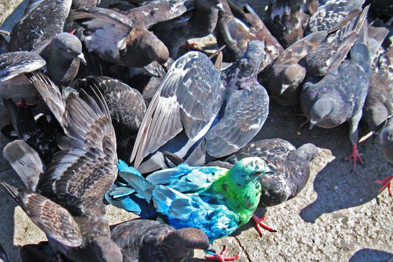 blau-grün gefärbte Taube inmitten gtrauer Tauben